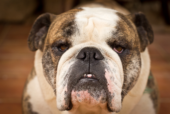 A jowly bulldog gazes wearily into the camera