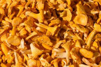 Beautiful yellow girolle mushrooms